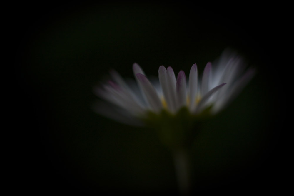 underexposed daisy