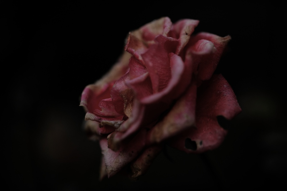 underexposed rose